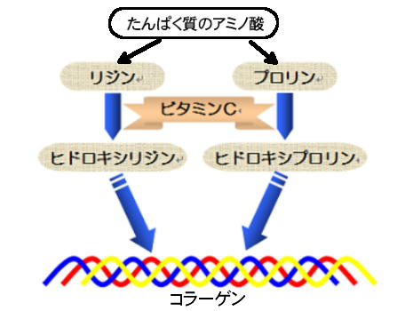 ビタミンCの役割