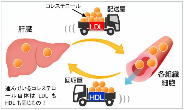 LDLとHDL